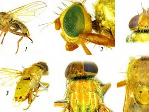 Gaziantep'te meyve sineğinin yeni bir türü keşfedildi