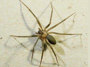 Felç tedavisinde örümcek zehri