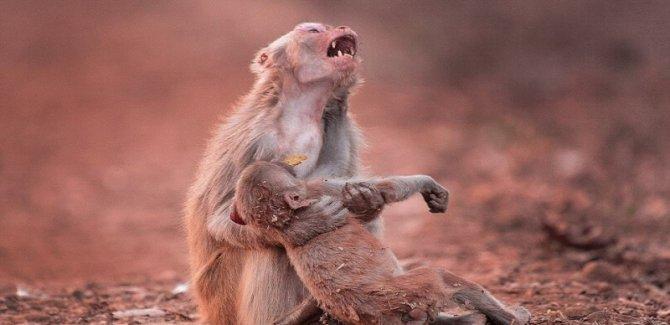 Öldü sandığı yavrusu için gözyaşı döken anne maymun, yürekleri dağladı