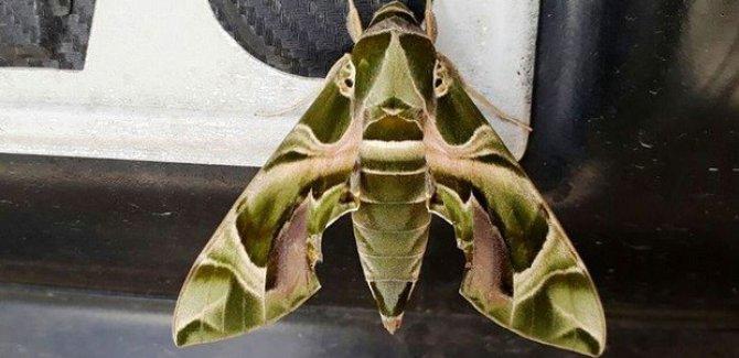 Ender görülen 'Mekik Kelebeği' Van'da bulundu