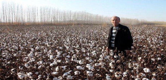 Iğdır'da 35 yıl sonra pamuk yetiştirildi