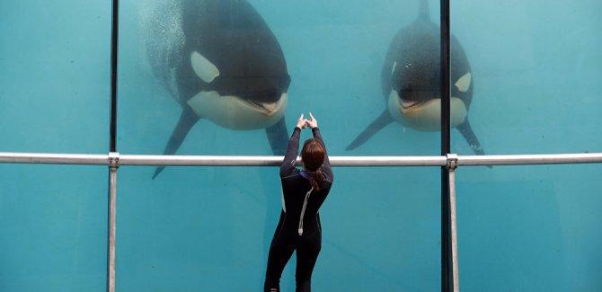 Katil balinalar insan sesini taklit edebiliyor