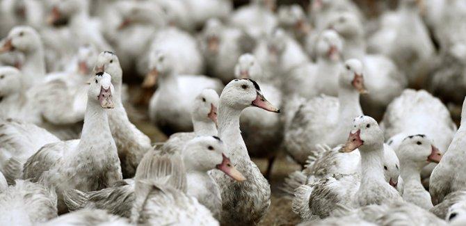 H7N4 kuş gribi virüsü ilk kez insanda görüldü