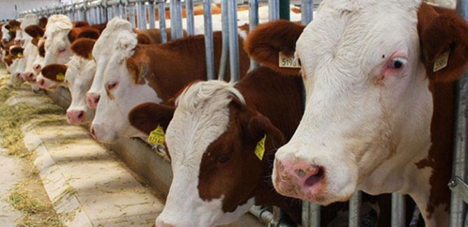 Türkiye, 7 ayda 677 milyon dolar sığır ithal etti