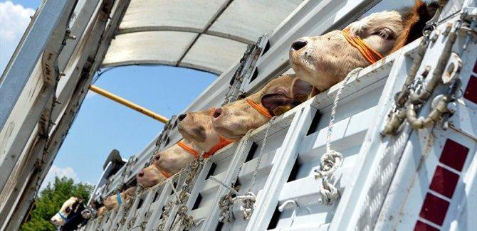 Silivri'de şarbon karantinası: 3500 hayvan aşılanacak