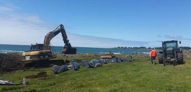 Yeni Zelanda'da kıyıya vuran 50 balina öldü
