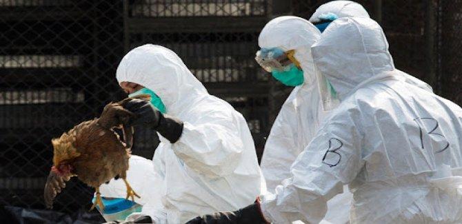 Bilim insanlarından pandemi uyarısı: En az sekiz kuş gribi türü dünyada dolaşıyor