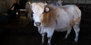 Polonya'dan 3 bin hasta sığır eti ithal edilmiş