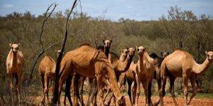 Avustralya'da katliam başladı, 5 bin deve öldürüldü